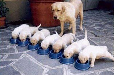 cachorros_comiendo_www_Humor12_com